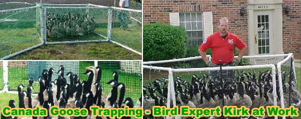 How To Get Rid Of Canada Geese In Your Yard Or Lawn